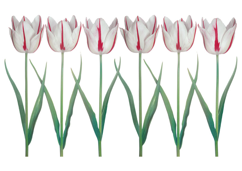 Peter Arnold Tulips