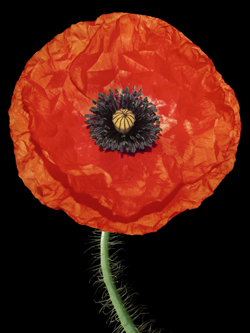 Peter Arnold Poppies
